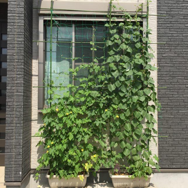 グリーンカーテン伸びる伸びる 窓を覆っています!