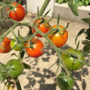 ミニトマト0706