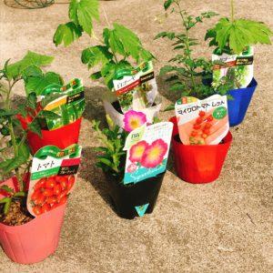 今年も始めました!グリーンカーテンと野菜作り