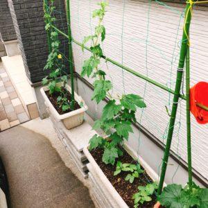 グリーンカーテンもプランター菜園も順調に?成長