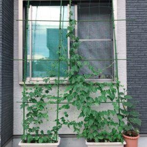 初収穫が嬉しい!グリーンカーテンと家庭菜園はグングン成長