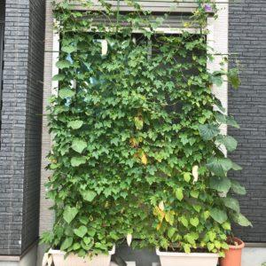 西側の窓がグリーンカーテンで覆われた!野菜も実って嬉しい