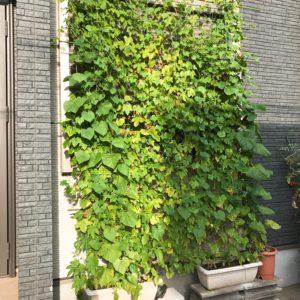 猛暑で苦労も…グリーンカーテンと家庭菜園は暑くても元気